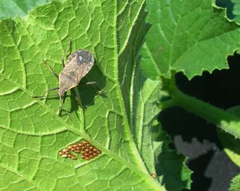 squash-bug350-and-eggs-2